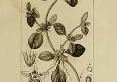 Plant-Illustration-of-Calico-plant