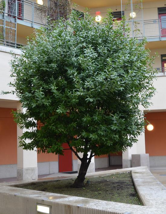 California-Bay-tree