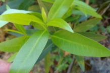 California-Bay-leaves