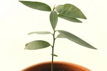 California-Bay-plant