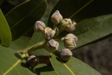 Flower-buds-of-California-Bay