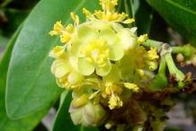 Flower-of-California-Bay