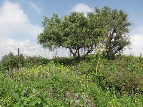 California-Peppertree-growing-wild