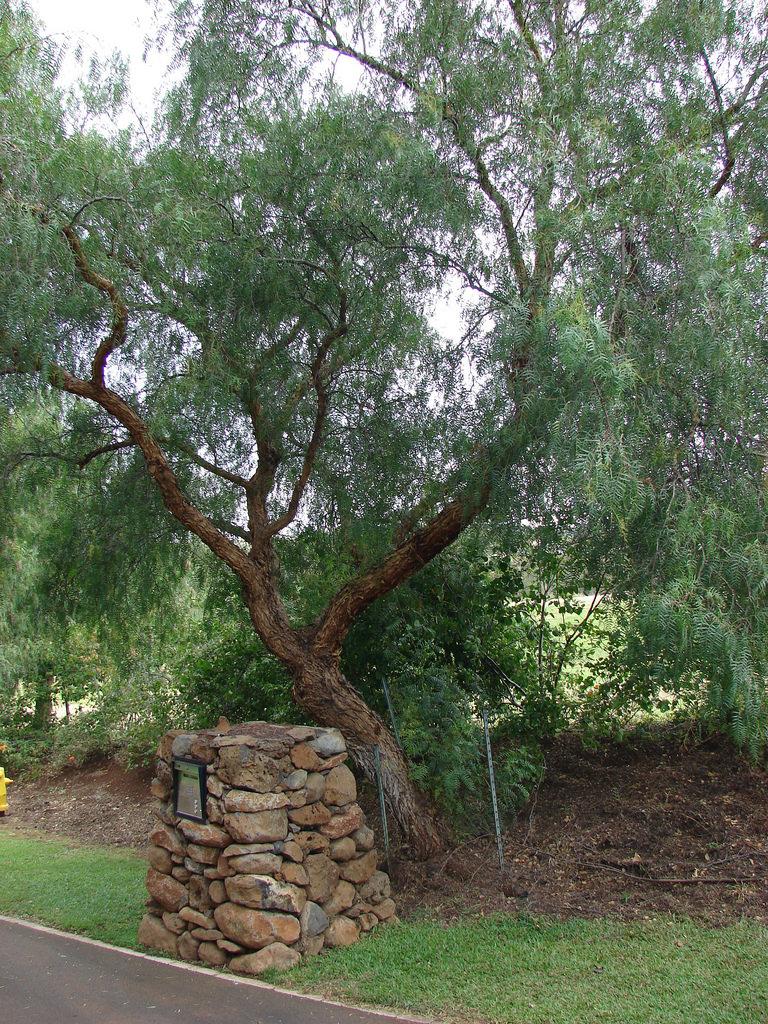 California-Peppertree