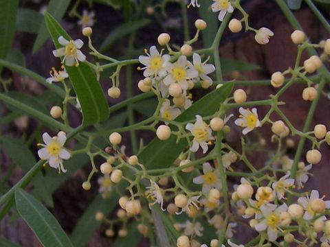 Flowers-of-California-Peppertree