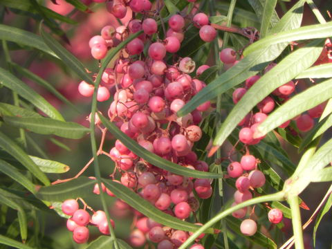 Fruis-of-California-Peppertree