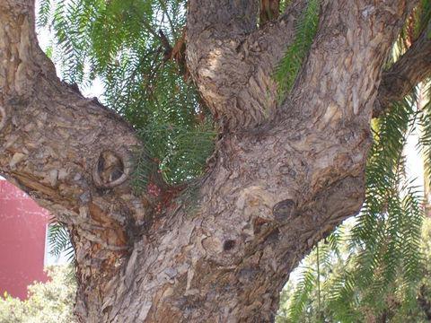 Trunk-of-California-Peppertree