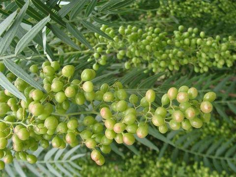 Unripe-fruit-of-California-Peppertree