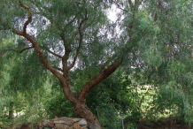California-Peppertree