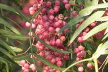 Fruis-of-California-Peppertree