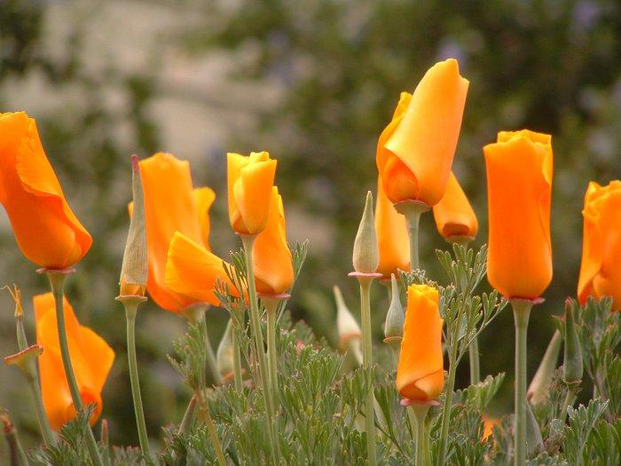 California poppy facts and health benefits