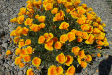 California-poppy-plant