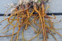 Roots-of-California-Poppy
