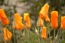 Buds-of-California-Poppy