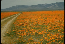 California-Poppy-Plant-growing-wild