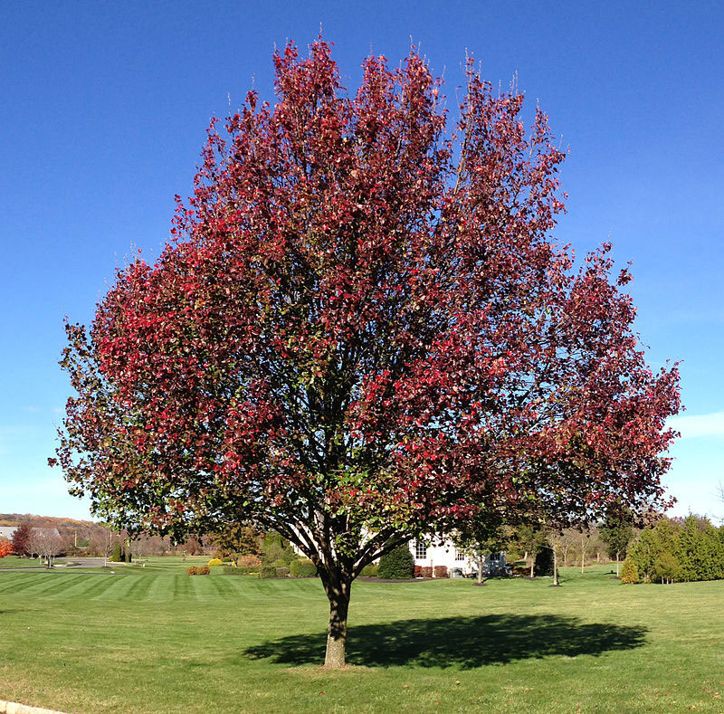 Autumn-color-of-Callery-pear