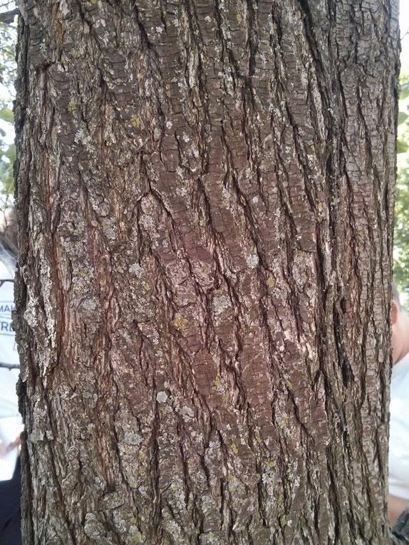 Bark-of-Callery-Pear