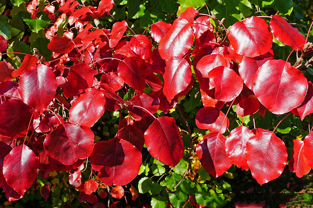 Callery-Pear-Fall-Color