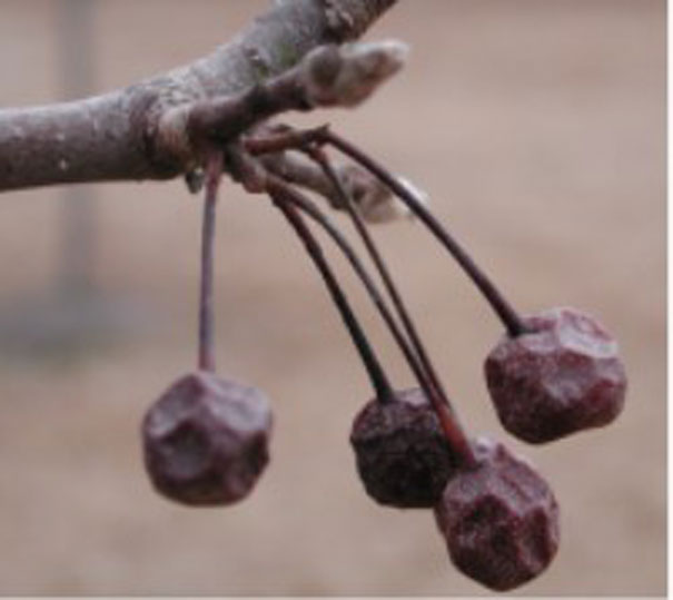 Dried-Callery-Pear