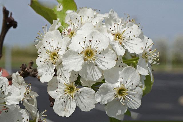 Flower-of-Callery-Pear