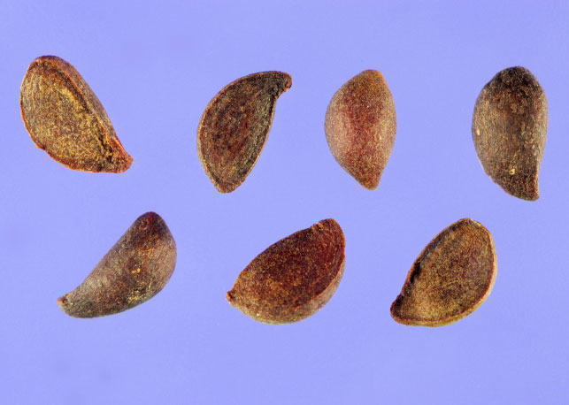 Seeds-of-Callery-Pear