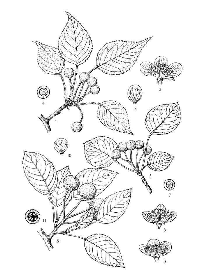 Sketch-of-Callery-Pear