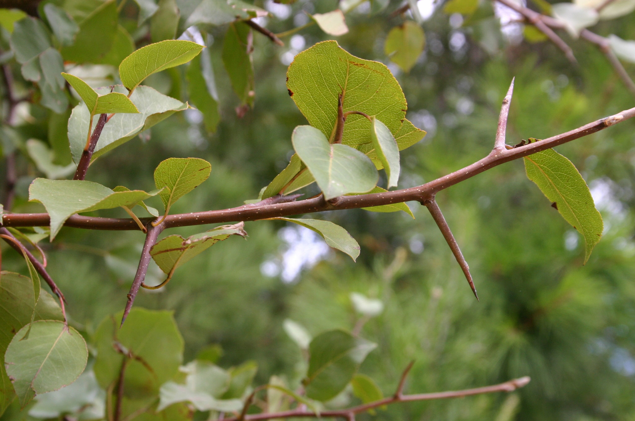 Thorn-of-Callery-Pear