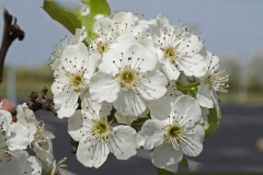 Flower-of-Callery-Pear