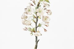 Plant-Illustration-of-Callery-Pear
