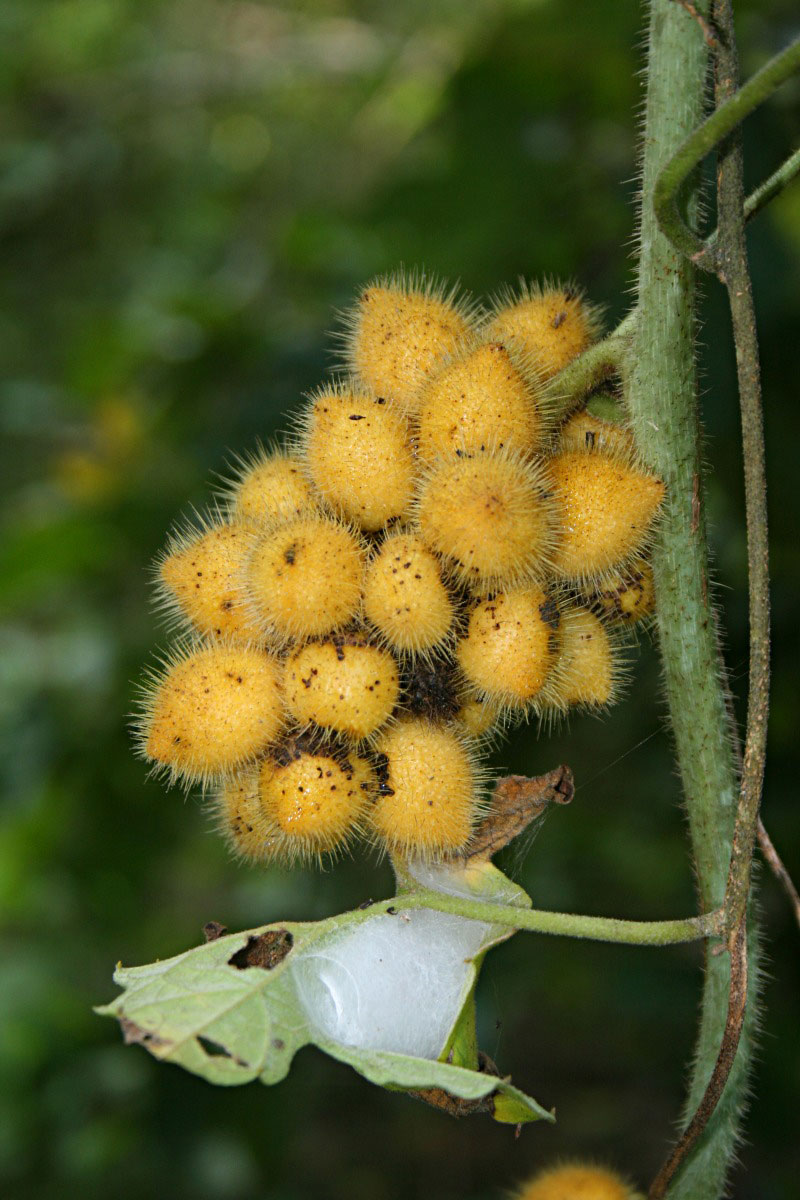 Bunch-of-Calumba-fruit