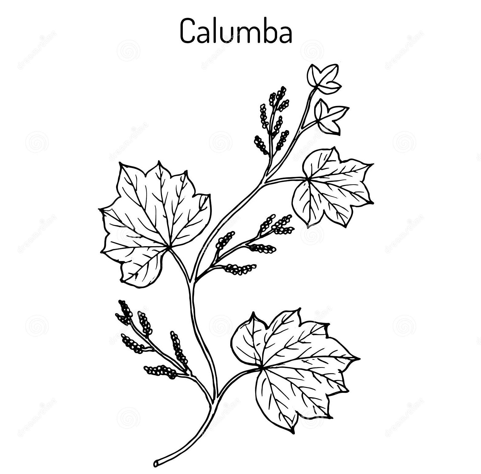 Sketch-of-Calumba