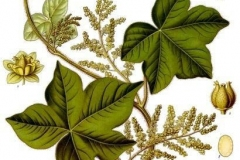 Plant-Illustration-of-Calumba