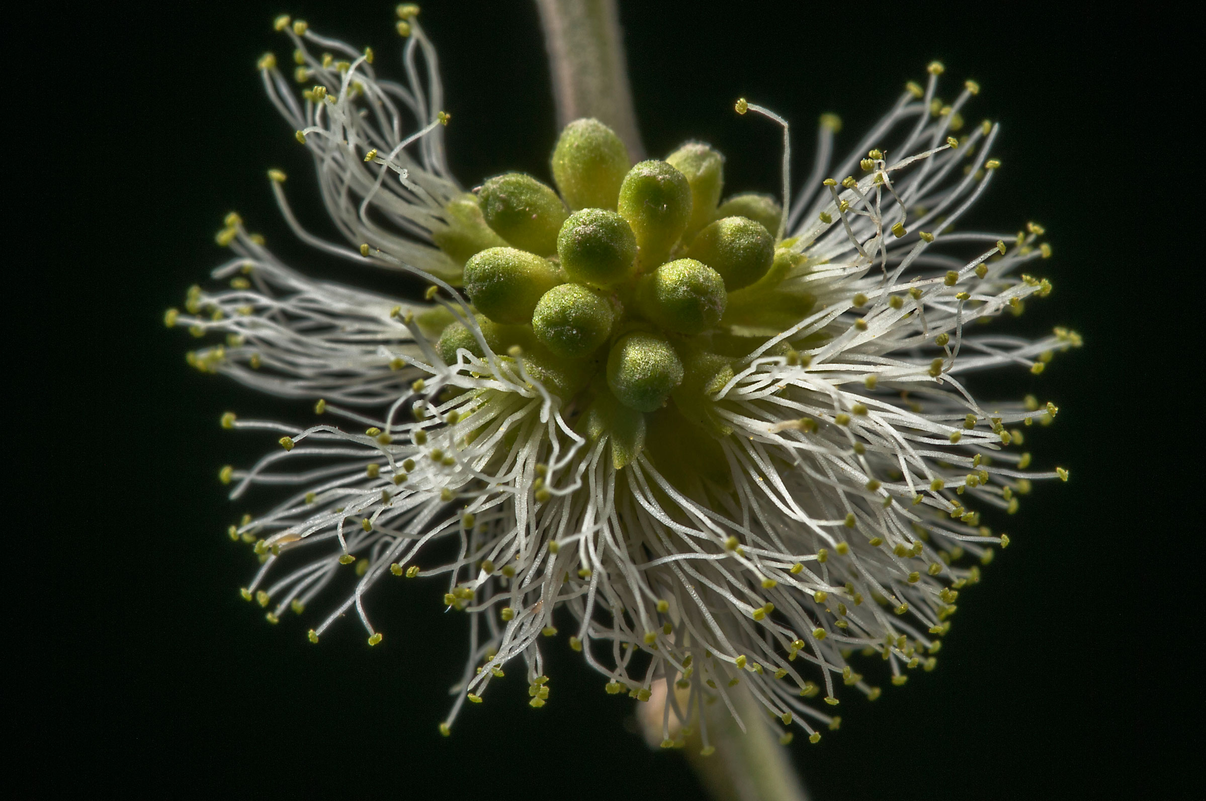 Closer-view-of-flower-of-Camachile
