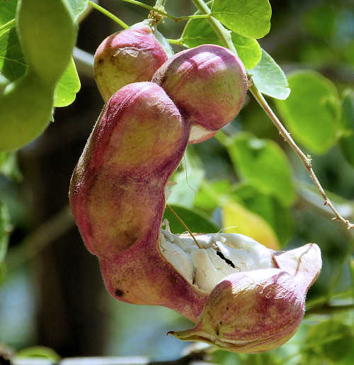 Mature-Camachile-fruit