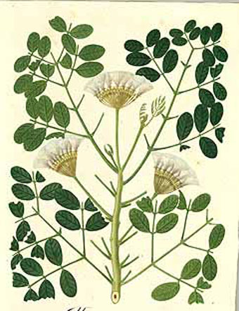 Plant-Illustration-of-Camachile