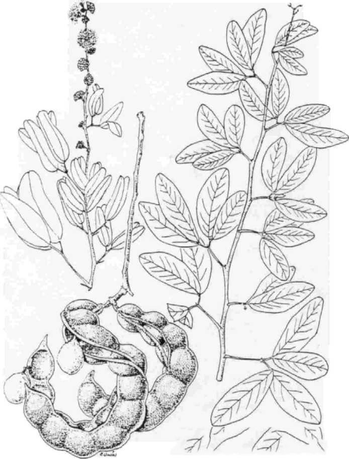 Sketch-of-Camachile