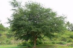 Camachile-plant