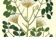 Plant-Illustration-of-Camachile
