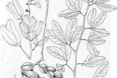 Sketch-of-Camachile