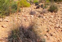 Camel-grass-growing-wild
