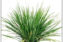 Leaves of Camel Grass