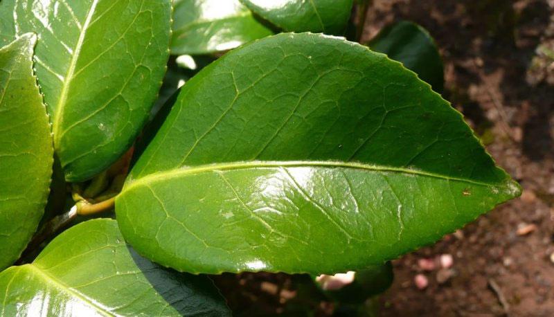 Leaves-of-Camellia