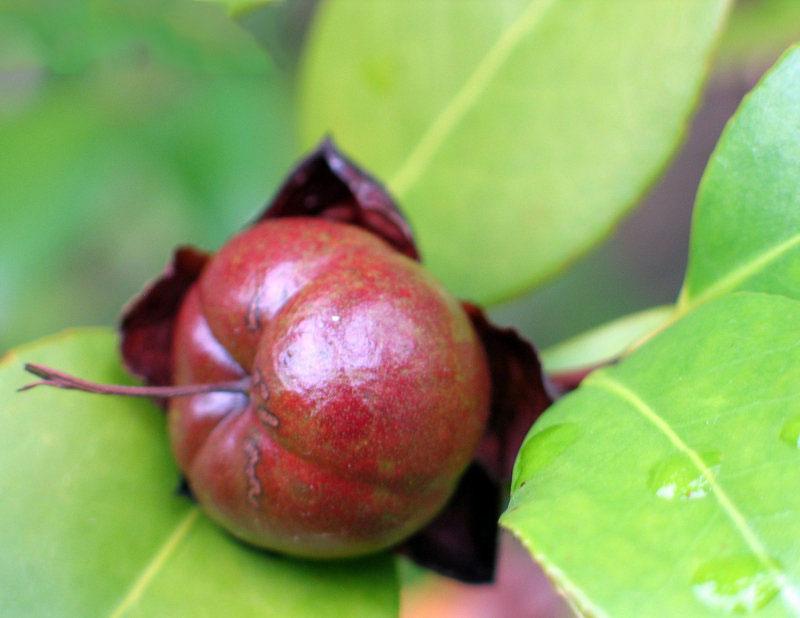 Mature-fruits-of-Camellia