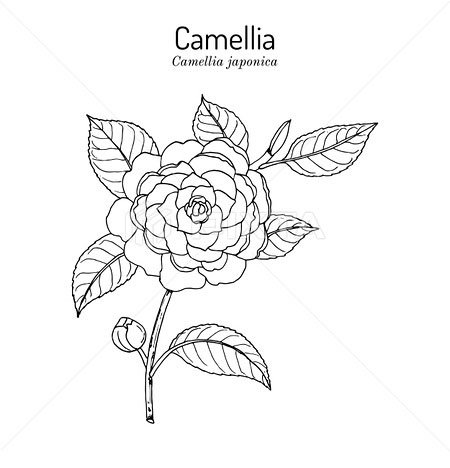 Sketch-of-Camellia