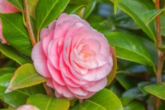 Camellia-flowers-on-the-plant
