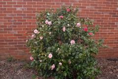 Camellia-plant