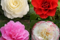 Different-varieties-of-Camellia