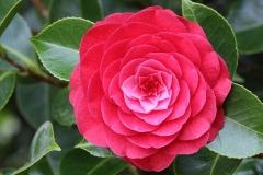 Flower-of-Camellia