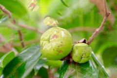 Immature-fruits-of-Camellia