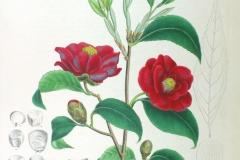 Plant-Illustration-of-Camellia
